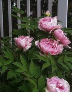 tree peonies by fence